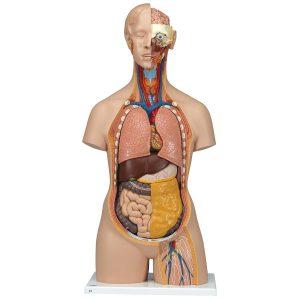 مدل های مولاژ و آناتومی